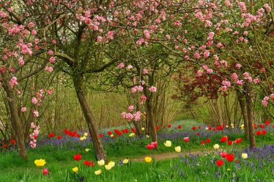 plum trees and tulips